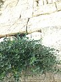 Caper berries in one of the bushes on the Western Wall, Jerusalem.jpg