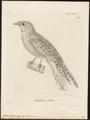 Caprimulgus aegyptius - 1700-1880 - Print - Iconographia Zoologica - Special Collections University of Amsterdam - UBA01 IZ16700043.tif