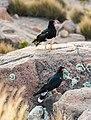 Caracara andino (Phalcoboenus megalopterus), cañón del Colca, Perú, 2015-08-02, DD 69.JPG