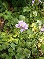 Cardamine raphanifolia 003.jpg