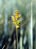 Carex brevior NPS-1.jpg