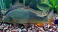 Carp (Cyprinus carpio) in aquarium.JPG