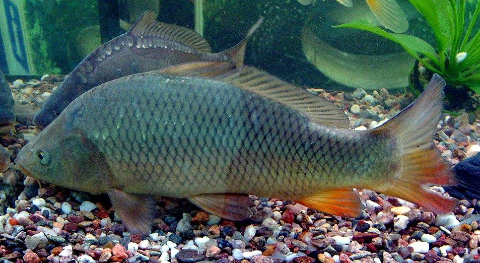 Carp (Cyprinus carpio) in aquarium.JPG