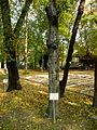 Carpinus betulus (6).JPG