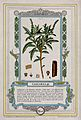 Cascarilla bark plant (Croton eluteria); flowering stem, bar Wellcome V0044410.jpg