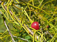 C. ciliolata, frukt