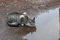 Cat Making Ripples (8435408794).jpg