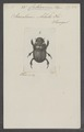 Catharsius - Print - Iconographia Zoologica - Special Collections University of Amsterdam - UBAINV0274 019 07 0018.tif