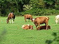 Cattle and a horse in a field adjacent to The Street near Erpingham House - geograph.org.uk - 538458.jpg