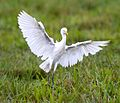 Cattle egret 9 (7124418261).jpg