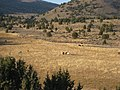 Cattle on Hwy 8A Nevada (3070911889).jpg