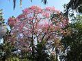 Ceiba pubiflora Málaga.jpg
