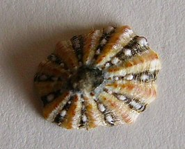 Cellana ornata