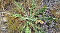 Centaurea diffusa 3.jpg