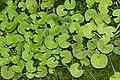 Centella asiatica 6121.jpg