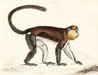 Mona monkey - Image: Cercopithecus mona