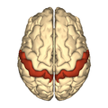 Cerebrum - postcentral gyrus - superior view.png