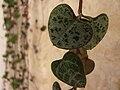 Ceropegia woodii - leaves.JPG