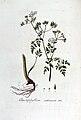 Chaerophyllum sativum — Flora Batava — Volume v5.jpg