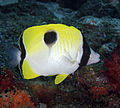 Chaetodon unimaculatus Teardrop Butterflyfish Fiji by Nick Hobgood.jpg