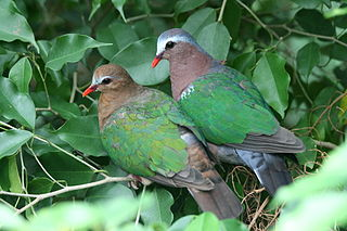 Common emerald dove species of bird