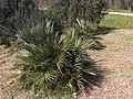 Chamaerops humilis g2.jpg