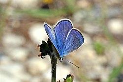 Chapman's blue (Polyommatus thersites thersites) male Bulgaria.jpg