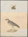 Charadrius nigrifrons - 1700-1880 - Print - Iconographia Zoologica - Special Collections University of Amsterdam - UBA01 IZ17200235.tif