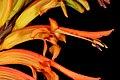 Chasmanthe floribunda 1DS-II 7649.jpg