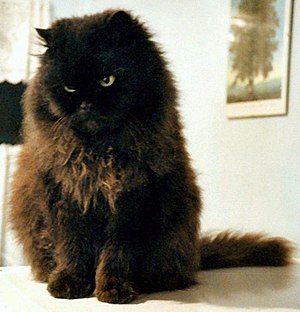 Persian cat / Chat persan