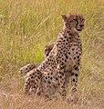 Cheetah, Maasai Mara (47711189631).jpg