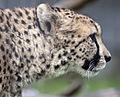 Cheetah head 3 (5018331006).jpg