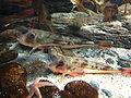 Chelidonichthys lucernus Nausicaa.jpg