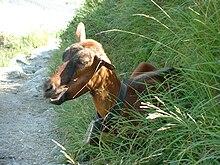 Chèvre noire d'un cimetière de la Drôme dans CHEVRE 220px-Chevre_avec_sa_cloche