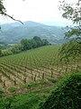 Chianti vineyards in May.jpg