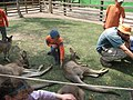 Children patting kangaroos.jpg