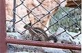 Chipmunk - Bryce Point (Bryce).jpg
