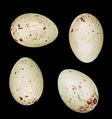 Stehlík zelienka (syn. zelienka obyčajná) (Carduelis chloris) - vajíčka