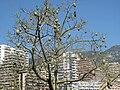 Chorisia with fruits.jpg