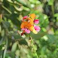 Chorizema cordatum-IMG 0363.jpg