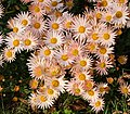 Chrysanthemum (81572).jpg