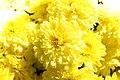 Chrysanthemum Padre Yellow 0zz.jpg