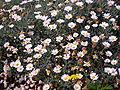 Chrysanthemum frutescens 0.1 R.jpg