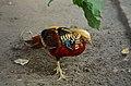 Chrysolophus pictus (male), Lahore Zoo - 11.jpg