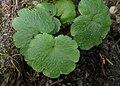 Chrysosplenium alternifolium kz19.jpg
