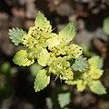 Chrysosplenium macrostemon var. shiobarense.jpg