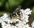Chrysotoxum bicinctus - Flickr - gailhampshire (2).jpg
