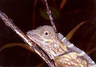 Fauna of Borneo - Lizard