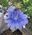 Cichorium endivia flower (3).jpg