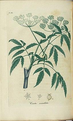 Cicuta maculata, American hemlock (3528517290)